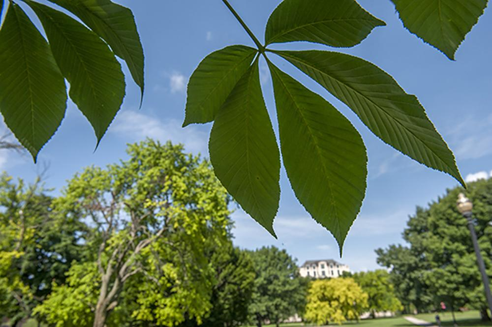 Buckeye leaves on the Ohio State Oval